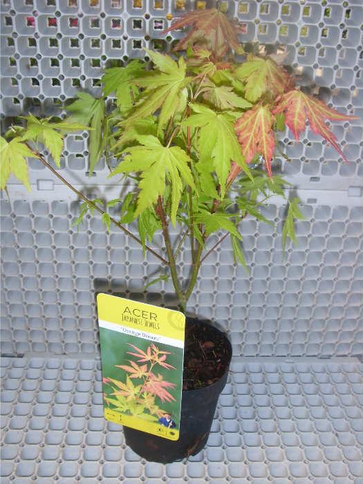 Esflora Fidancılık Ve Süs Bitkileri Online Minyatür Gül Honeyberry